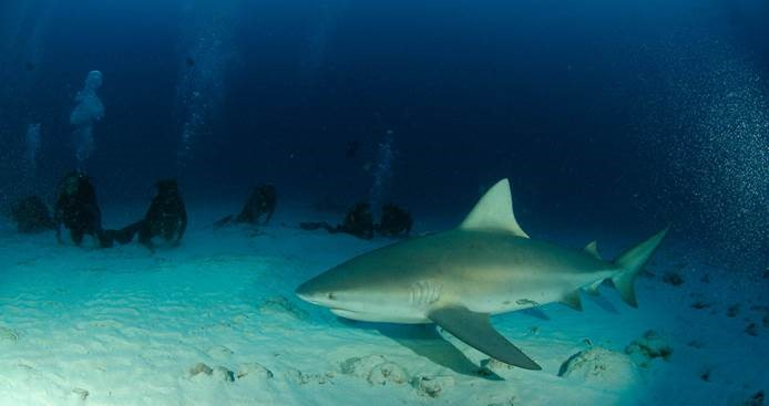 Shark Diving Adventure with Maroma Dive center